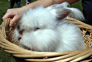 Huge furry bunny in a basket