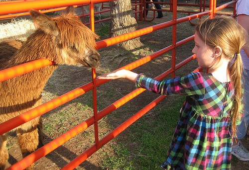 Feeding the alpaca at Bradt's Menagerie. What started as a project for the kids and got out of hand is now an agritourism business. Photo by Becky McCray.