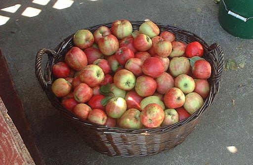 Basket of fresh picked Gravenstein apples, British Columbia, Canada.