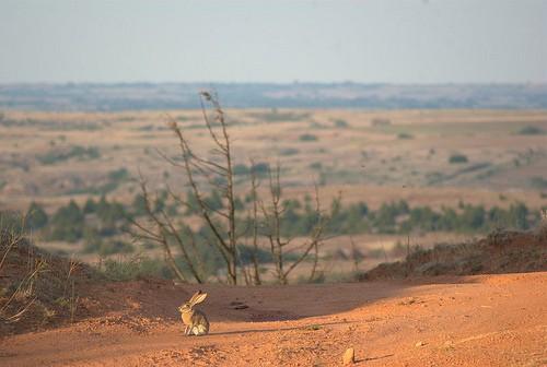 Jack rabbit sitting in an open dirt field.