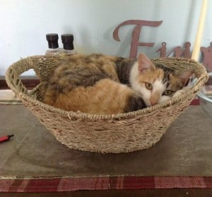 Calico cat curled up in a basket.