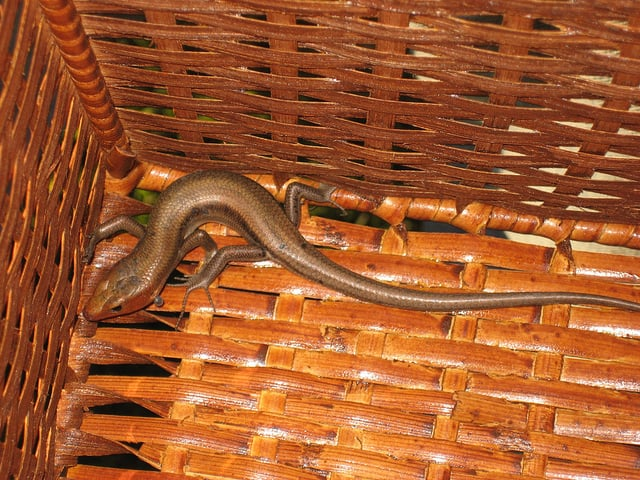 Basket with lizard inside.