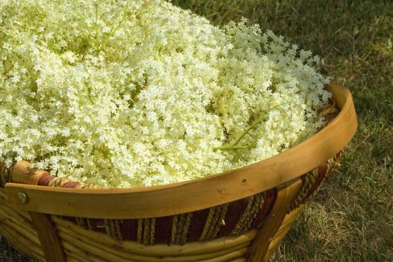 Basket of Elderflowrs photo by andyballard via freerangestock