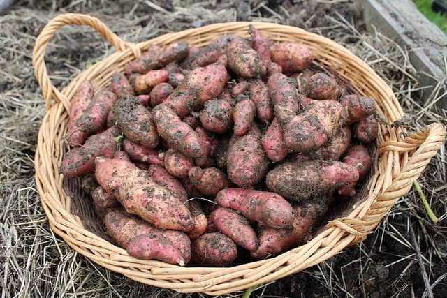 Basket of potatoes. Photo (CC) by Local Food Initiative on Flickr