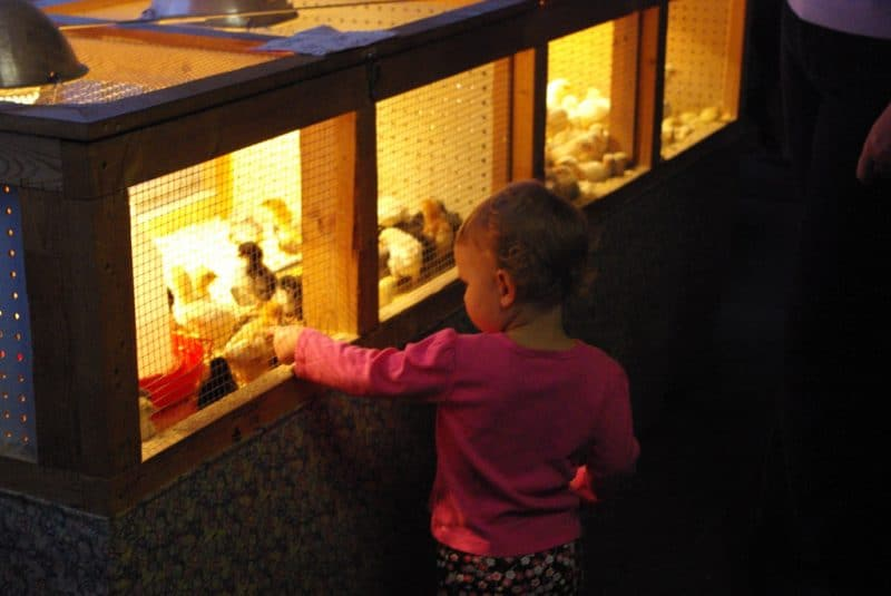 Baby points to baby chicks. Photo by Becky McCray