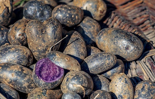 Basket of purple potatoes