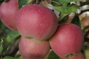 Several apples on a tree, closeup