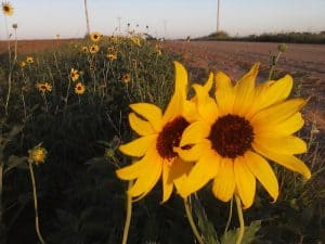 Wild sunflowers growing alongside a country road